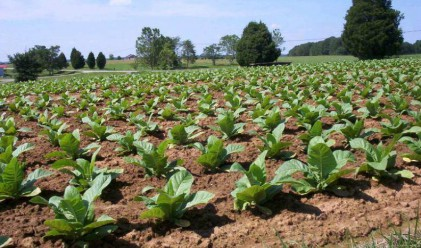 Тютюнопроизводители ще получат 116 млн. лв. помощ