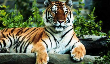 Индонезийци осиновяват тигри срещу 100 хил. долара
