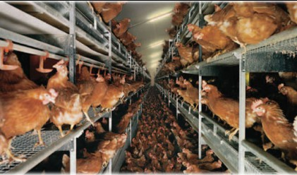 Забраниха продажбата на яйца от кокошки в клетки