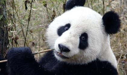 Китаец ще прави най-скъпия чай на света... с екскременти от панда