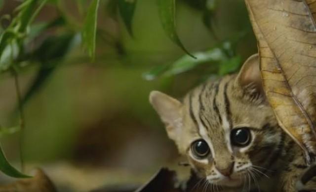 Най-малката котка в света е неустоимо сладка