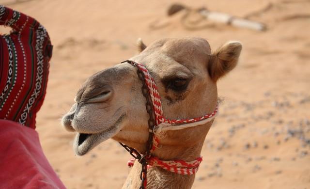 Дисквалифицираха камили от конкурс по красота заради ботокс