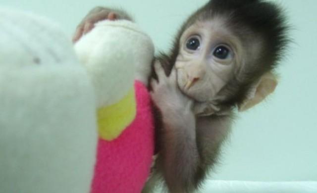 Първите клонирани маймуни се родиха в Китай
