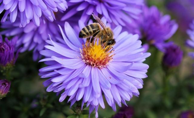 Учени: Цветята чуват приближаващите пчели
