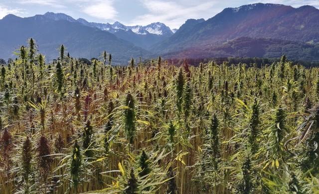 Все повече големи компании навлизат на пазара на марихуана