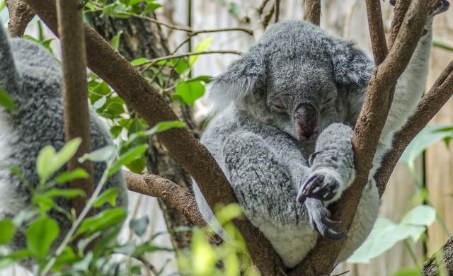 Австралийски тийнейджъри спасяват коали с колата си (видео)