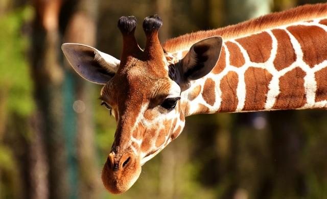 Откриха жирафи-джуджута в Африка