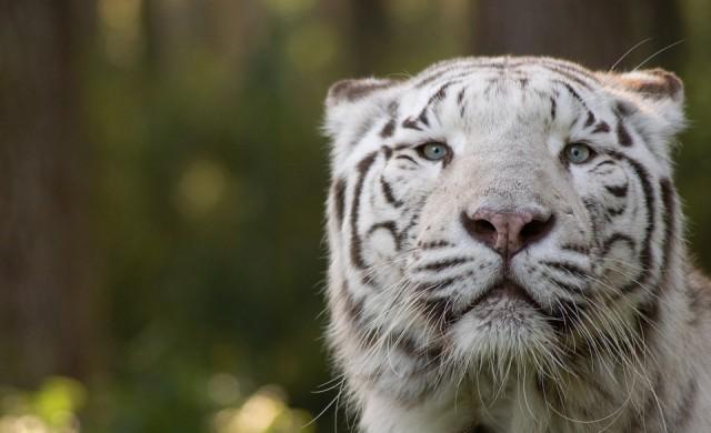 Рядкото бенгалско тигърче, родено в зоопарк в Никарагуа, почина