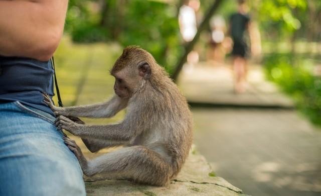 Крадливи маймуни знаят срещу кои вещи ще получат най-голям откуп