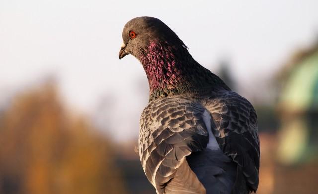 Гълъб прелетя 13 000 км, но направи нарушение и ще бъде умъртвен