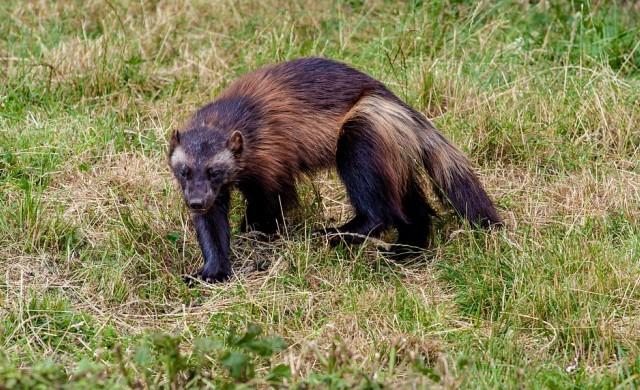 Рядък вид бозайник заснет от камера за първи път в Йелоустоун (видео)