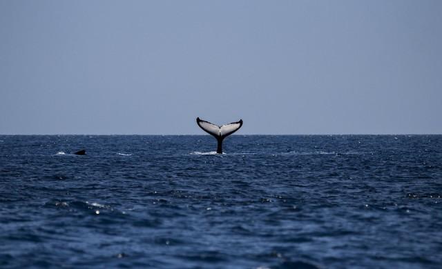 Как китовете помагат за охлаждането на Земята?