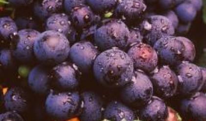 Във Великотърновско лозарите предпочитат винени сортове