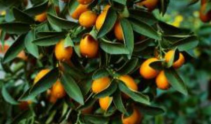 Производители на цитрусови плодове от Италия търсят партньори у нас