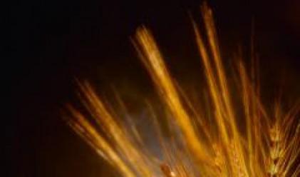 Пшеницата поскъпва до нова рекордна стойност