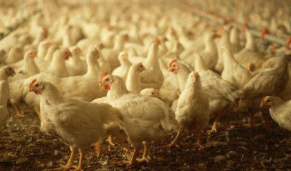 Китай удря вноса на птиче месо от САЩ