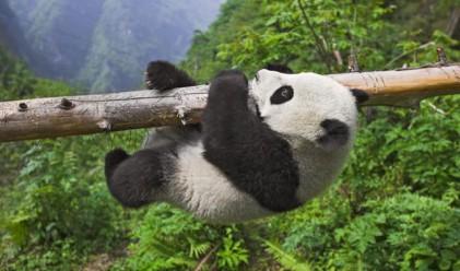Токио наема китайски панди срещу 1 млн. долара