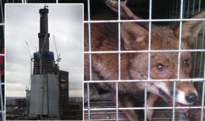 Лисиче живя две седмици в най-високата сграда в Лондон