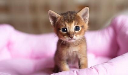Най-скъпата и рядка котка в света