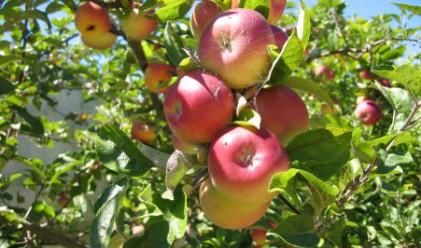 Ябълките и зелето поскъпнаха през седмицата