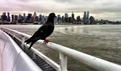 Гълъб, който мрази да лети, ползва ферибот всеки ден