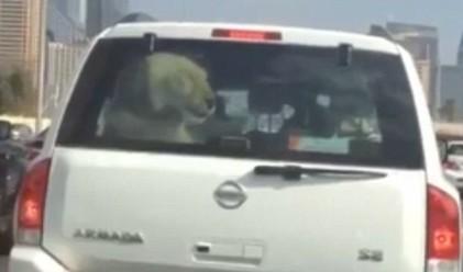 Шофьор в Дубай вози лъв в колата си (видео)