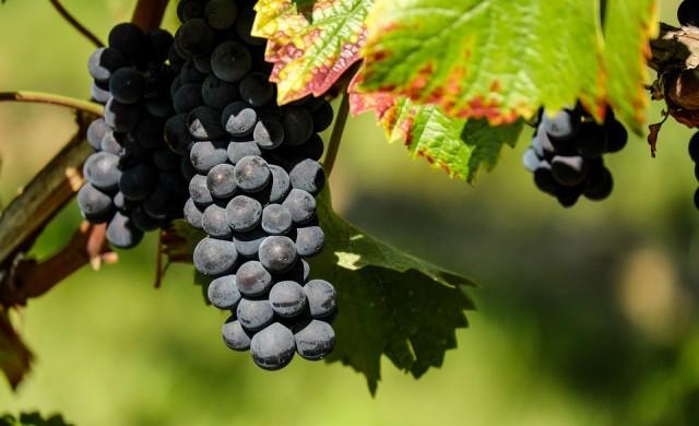 Десет интересни факта за гроздето