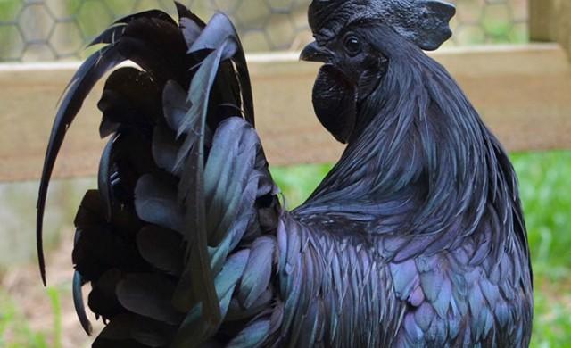 Аям Семани - птицата с черна кръв, която гарантира богатство