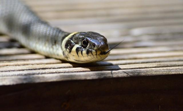 Една от най-отровните змии на планетата затвори улица в Мелбърн