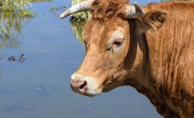 Крава, която избяга от кланица, бе заловена и почина от стрес