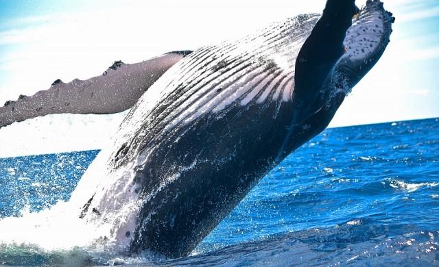 Защо три огромни и миризливи трупа на китове обикаляха Европа?
