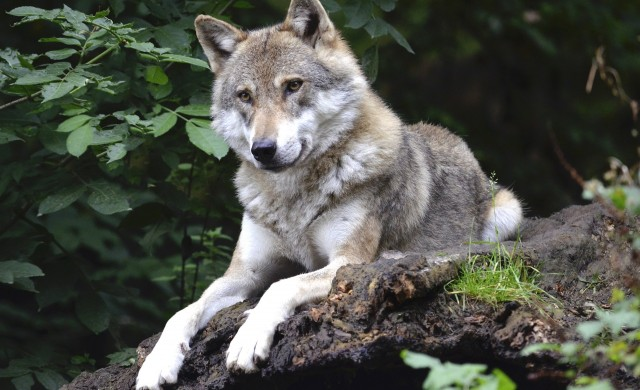 Островът, на който можете да се сприятелите с вълк