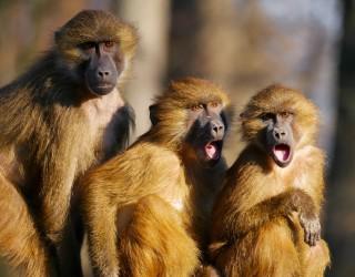 Павиан избяга от вазектомия заедно с двете си жени
