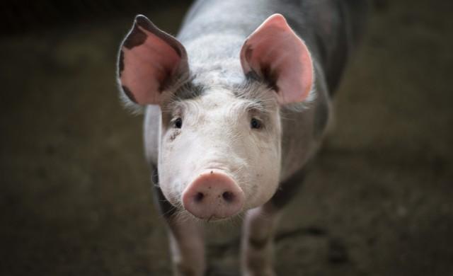 Huawei обръща гръб на смартфоните и се насочва към свиневъдството