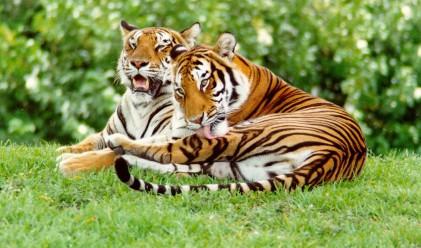 3000 лв. глоба за гледане на тигри в домашни условия