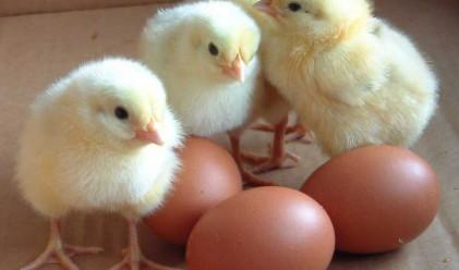 Яйцата станаха дефицитна стока в Европа