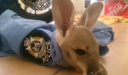 Когато бебе кенгуру мисли полицай за майка си (видео)