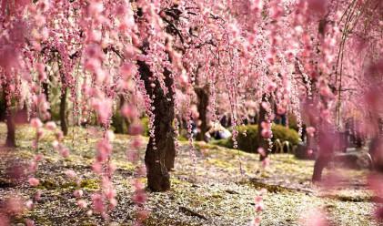 Пролетта е удивително красива в Япония
