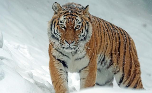 Радвате ли се на студа? Защото тигрите в Лондон го обожават