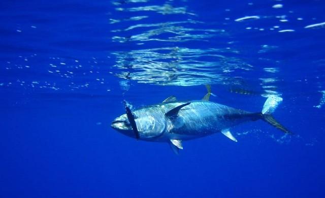 В Япония продадоха най-гигантската риба тон в историята