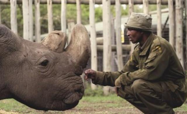 Почина последният мъжки северен бял носорог в света