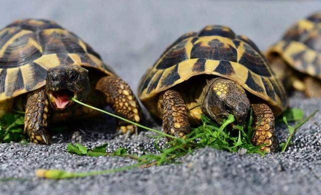 Някой опита да пренесе през летище 1529 редки костенурки