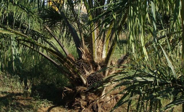 ЕС с мерки за ограничаване на употребата на палмово масло