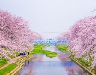 Японските вишни ще цъфнат по-рано тази година, вижте красотата на сакура