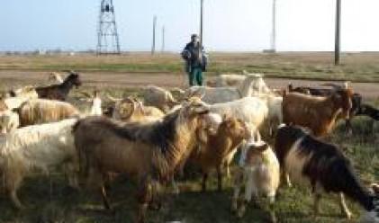 По 2.2 кг агнешко и овче месо на глава от населението консумират домакинствата у нас