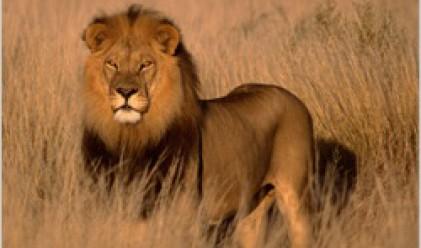 Месо от лъв се предлага за хиляда долара