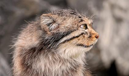 Уникални диви котки, смятани за изчезнали, бяха заснети в Русия