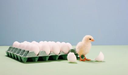 В Европа кокошките спряха да снасят