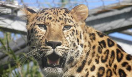Два леопарда ви дебнат. Виждате ли ги?
