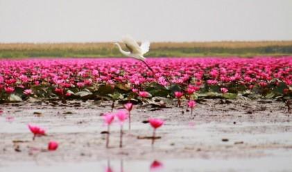 Уникални гледки: море от червени лотоси